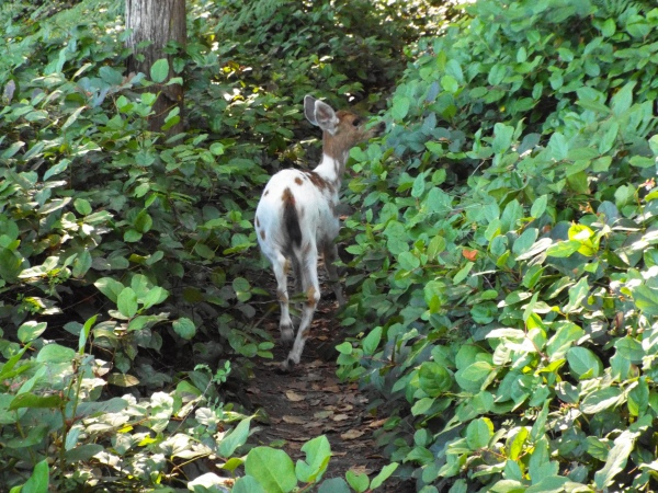 Yep, that's a white deer! Gotta love wildlife.